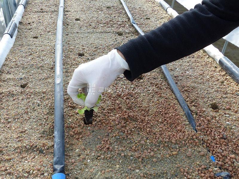 高床式砂栽培の苗植え