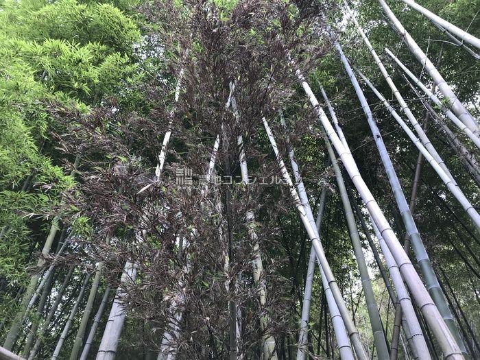竹の枯れる画像
