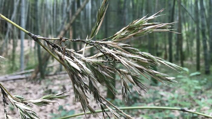 竹の花のアップ画像