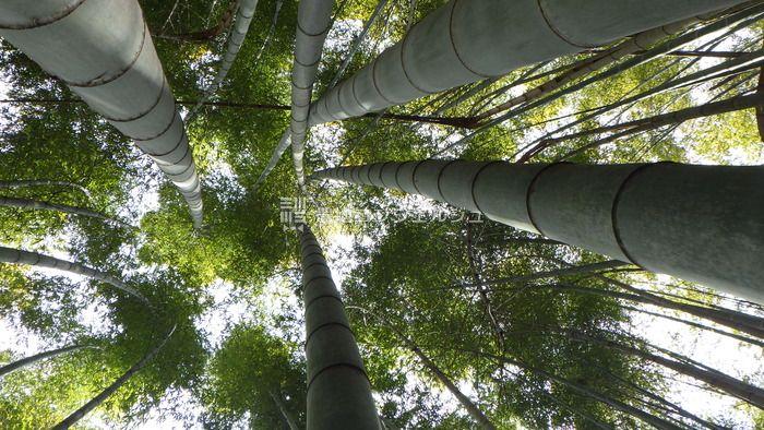 竹が真っ直ぐ伸びる画像
