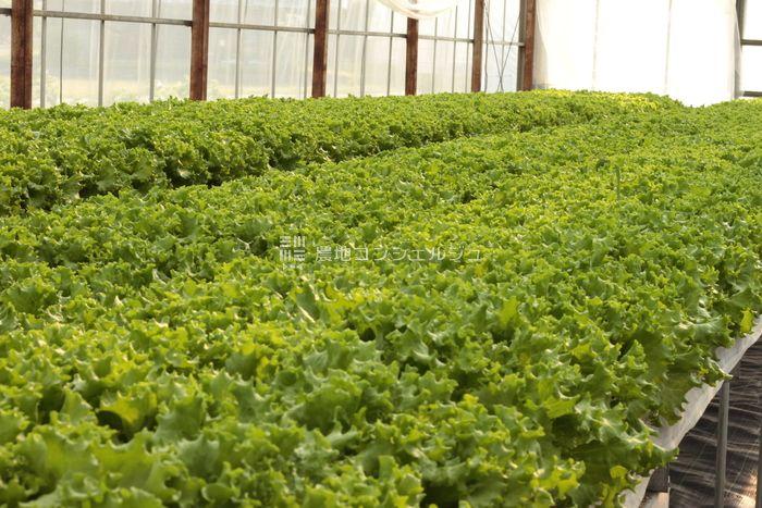 ストレス農法によるリーフレタスの生育画像