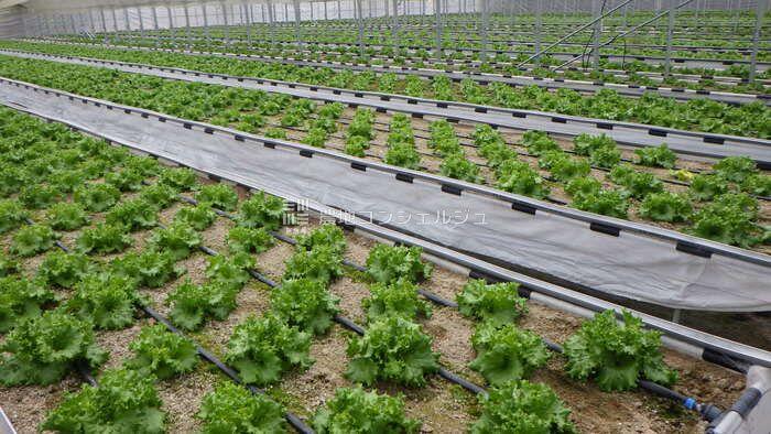 ストレス農法によるリーフレタスの生育画像2