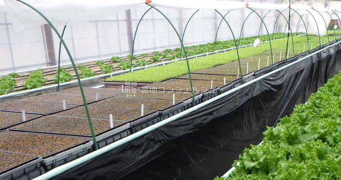 高床式砂栽培の1日毎の苗の栽培状況