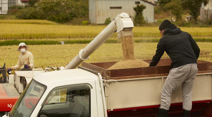 稲刈りの助っ人