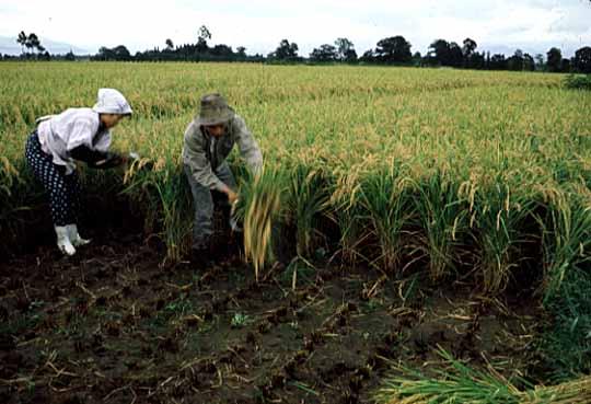 手で稲を刈る